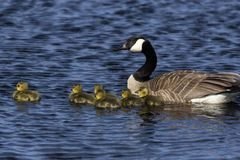 Canada goose swimming with thier goslings. On the river.Nature scene from Wisconsin royalty free stock images