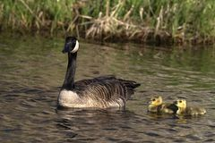 Canada goose swimming with thier goslings. On the river.Nature scene from Wisconsin royalty free stock photos