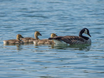Canada goose swimming with three goslings on a lake. In springtime Stock Photography