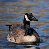 Canada Goose. Swimming Toward Camera Stock Photos