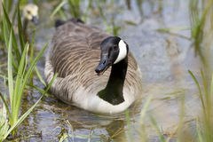 Canada Goose swimming towards camera on a pond. One Canada Goose swimming towards camera on a pond through the reeds.  There is an out of focus gosling chick in Stock Images