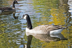 Canada Goose swimming in waterway Stock Photography