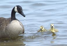 A Canada Goose swims with her offspring. A Canadian Goose swims with her offspring. As waterfowl the goslings age adapt in the water shortly after birth Royalty Free Stock Photos