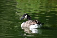 Canada Goose flapping its wings stock photo