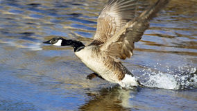 Canada Goose Take Off Royalty Free Stock Photo