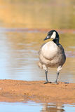 A Canada Goose Royalty Free Stock Image