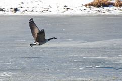 Canada Goose Taking Off From Frozen Lake Stock Photo