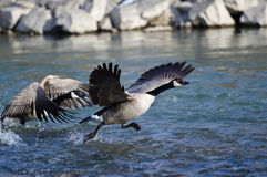 Canada Goose Taking Off From a River Royalty Free Stock Photos