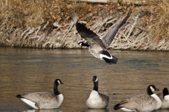 Canada Goose Taking Off From a River Royalty Free Stock Photo