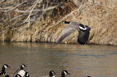 Canada Goose Taking Off From a River Stock Photography