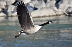 Canada Goose Taking Off From a River Stock Photos