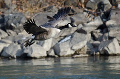 Canada Goose Taking Off From a River Royalty Free Stock Photography