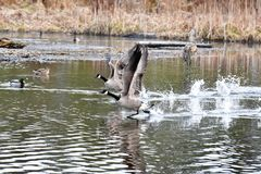 The Canada Goose are  taking off from water. royalty free stock image
