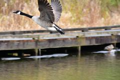 The Canada Goose are  taking off from water. royalty free stock images