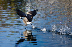 Canada Goose Taking Off From Water Royalty Free Stock Photography