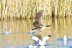 A Canada Goose royalty free stock photo