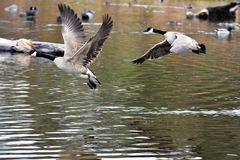 The Canada Goose are  taking off from water. royalty free stock photos
