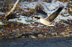 Canada Goose Taking Off From a Winter River Stock Photography