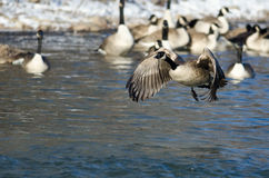 Canada Goose Taking Off From a Winter River Stock Photo