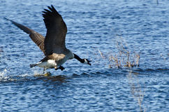 Canada Goose Taking to Flight Stock Photos