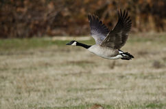 Canada Goose Taking to Flight from an Autumn Field Royalty Free Stock Photo