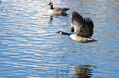 Canada Goose Taking to Flight from the Water Royalty Free Stock Image