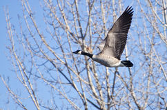 Canada Goose Taking to Flight Stock Photography