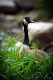 Canada Goose in Tall Grass Stock Images