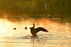 A Canada goose tends to its feather and splashes in the lake on a early, misty morning. royalty free stock photo