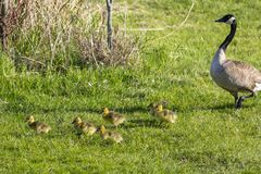Canada goose with thier goslings on the river bank. Nature scene from Wisconsin stock photography