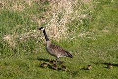 Canada goose with thier goslings on the river bank. Nature scene from Wisconsin royalty free stock image