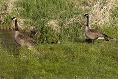 Canada goose with thier goslings on the river bank. Nature scene from Wisconsin stock photo
