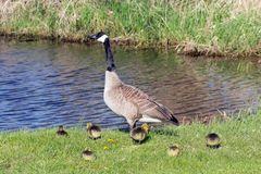 Canada goose with thier goslings on the river bank. Nature scene from Wisconsin stock photos