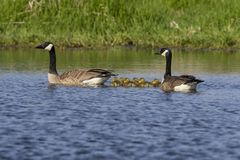 Canada goose with thier goslings on the river. Canada geese swimming with thier goslings on the river.Nature scene from Wisconsin stock image