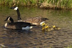 Canada goose with thier goslings on the river. Canada geese swimming with thier goslings on the river.Nature scene from Wisconsin royalty free stock photo