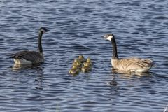 Canada goose with thier goslings on the river. Canada geese swimming with thier goslings on the river.Nature scene from Wisconsin royalty free stock image
