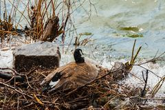 Canada Goose Trying To Protect Nest From Rising Water. Royalty Free Stock Images