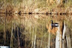 Free Canada Goose Visiting Land Between The Lakes Royalty Free Stock Photo - 101369565