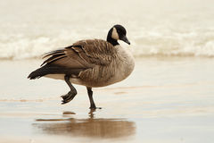 Canada Goose Wading in Shallow Water Royalty Free Stock Photo