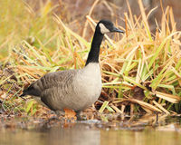 Canada Goose Wading in Shallow Water Stock Image