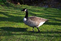 Canada goose, walking on the grass stock photography