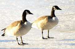 Canada goose. Walking on ice Stock Photos