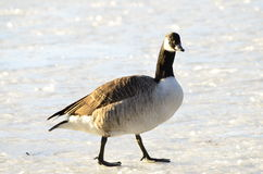 Canada goose Royalty Free Stock Images