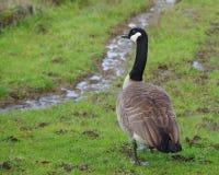 Canada Goose Royalty Free Stock Photo