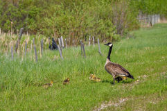 A Canada goose watches over her fuzzy babies. Stock Photography