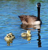 Canada Goose Watches Young. An adult Canada Goose watches its young goslings as they paddle across a pond Royalty Free Stock Image