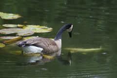 Canada Goose watching a Coy Fish swim. Royalty Free Stock Photography