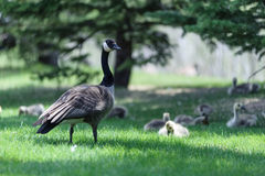 Canada Goose watching the nest Royalty Free Stock Photography