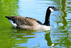 Canada goose on water Royalty Free Stock Photos