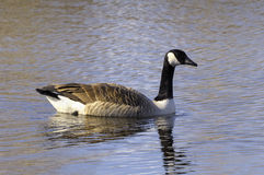 Canada Goose in Water Stock Images
